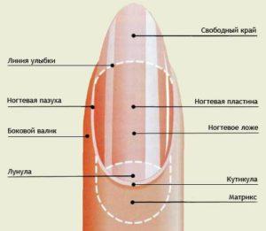 Строение ногтя человека